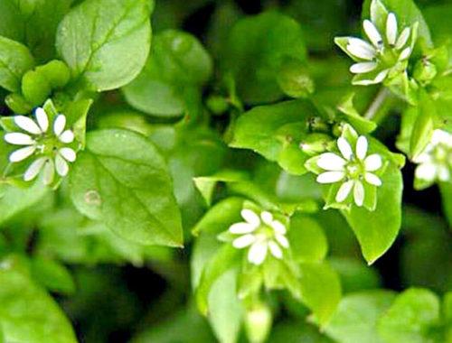 Փսխածաղիկ բույսի մասին